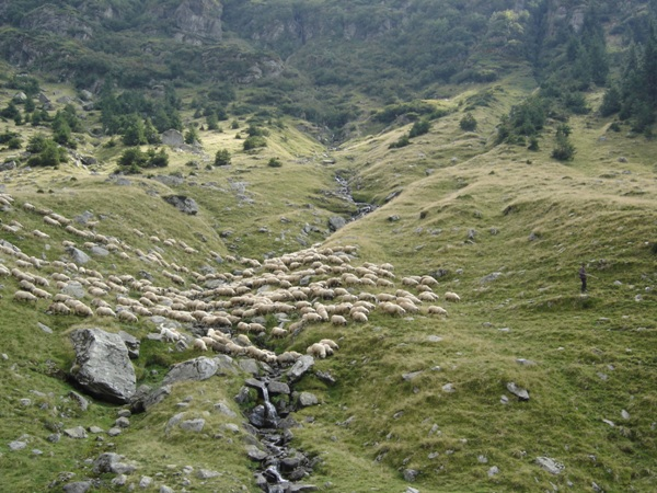 Owce Rumunia