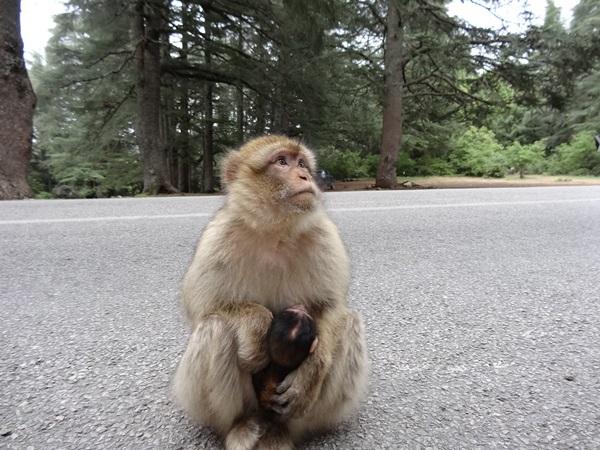Małpy monkey Ifrane Maroko